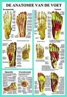 Poster-Anatomie-van-de-Voet