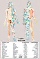 Poster-Het-Lymfatische-systeem