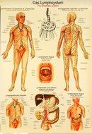 Poster-Lymphesysteem